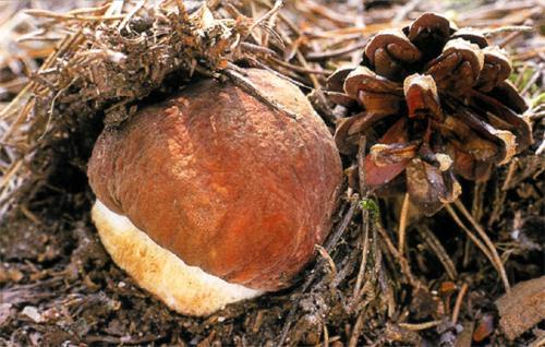 Сколько растут грибы по времени. Как быстро растет гриб?