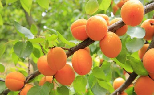 Абрикосы в беларуси посадка и уход. Уход за абрикосом и правильное выращивание дерева