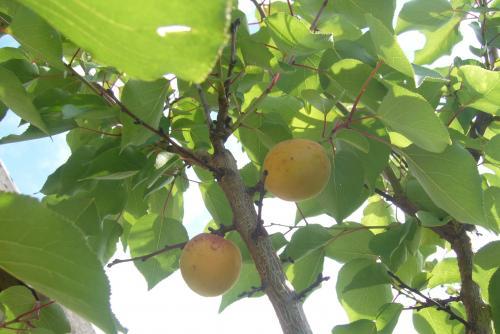 Когда сезон абрикосов в беларуси. Белорусские абрикосы, какие они?
