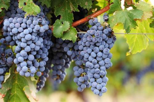 Консервация виноградного сока на зиму рецепты. Рецепты виноградного сока по сортам