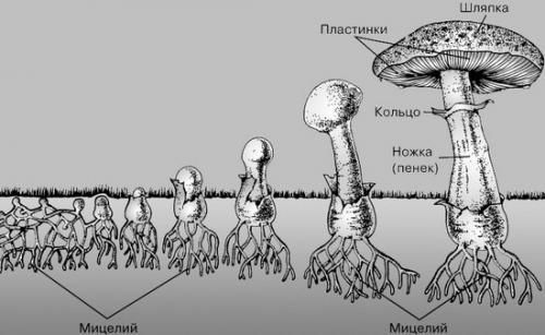 Сколько растут грибы после дождя белые. Дождь и другие факторы, влияющие на рост грибов