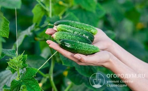 Как долго хранить огурцы свежими. Какие плоды подходят для хранения