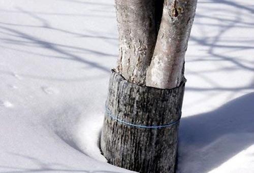 Как утеплить плодовые деревья на зиму. Материалы для укрытия яблонь на зиму