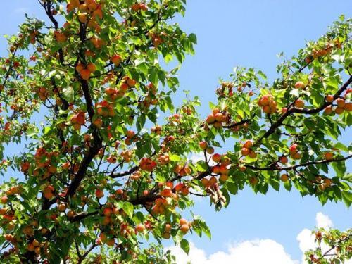 Сорта абрикосов для беларуси. Особенности выращивания