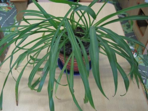 Паспорт комнатного растения фикус. Паспорт комнатных растений в детском саду 11