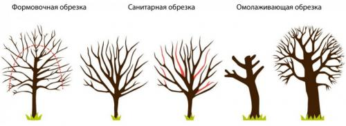 Обрезка калины осенью - Дача и цветы