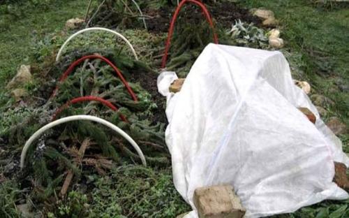 Как укрыть хризантему на зиму. Как сохранить хризантемы в разных климатических поясах