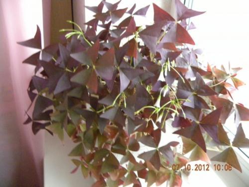 Паспорт комнатного растения фикус. Паспорт комнатных растений в детском саду 08