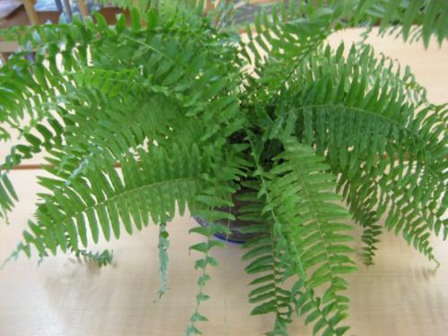 Паспорт комнатного растения фикус. Паспорт комнатных растений в детском саду 10