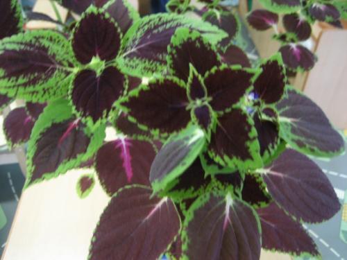 Паспорт комнатного растения фикус. Паспорт комнатных растений в детском саду 01