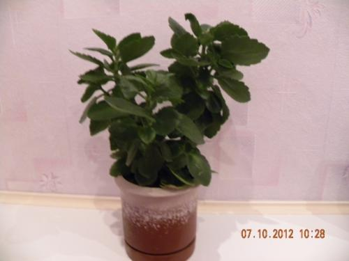 Паспорт комнатного растения фикус. Паспорт комнатных растений в детском саду 04