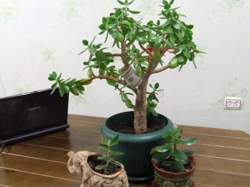 Посадка денежного дерева по лунному календарю. Способы посадки денежного дерева