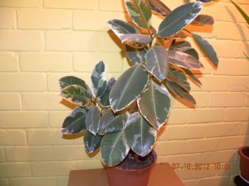 Паспорт комнатного растения фикус. Паспорт комнатных растений в детском саду