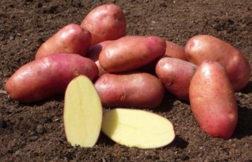 Сорта картофеля. Ранние сорта картофеля