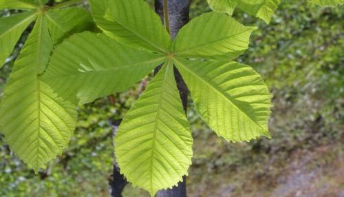 Рост каштана. Дерево конский каштан: описание и строение