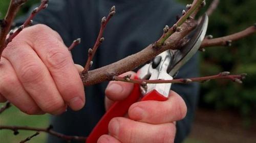 Как обрезать абрикос осенью схема. Как правильно проводить обрезку абрикоса осенью и зачем она нужна