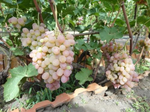 Виноград Тайфи белый. Свойства белого и розового Тайфи