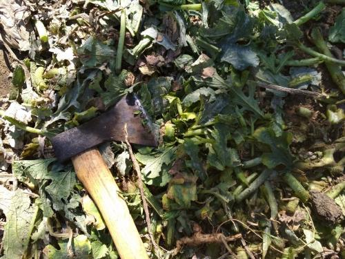 Осенняя уборка на огороде кабачки. Что делать с ботвой кабачков после уборки последнего урожая