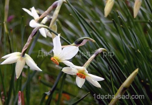 Можно ли весной сажать тюльпаны и нарциссы. Правила для луковичных. Как и когда высаживать тюльпаны и нарциссы 06