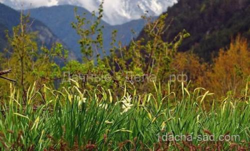 Можно ли весной сажать тюльпаны и нарциссы. Правила для луковичных. Как и когда высаживать тюльпаны и нарциссы 07
