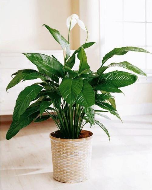 Комнатный цветок дерево счастья. 10 комнатных растений, притягивающих любовь и благополучие в семье