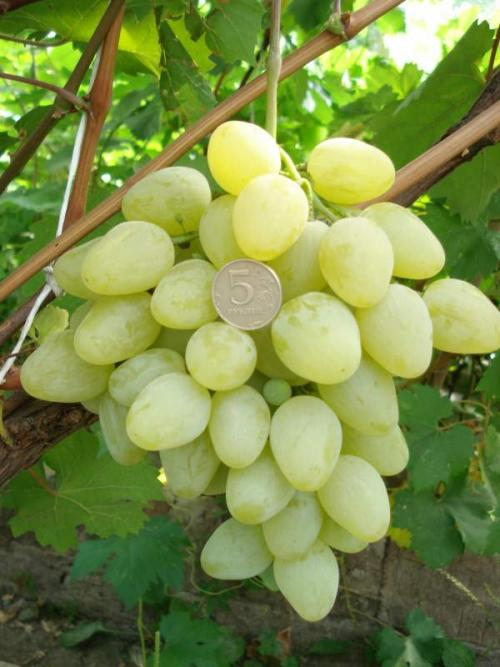 Где растет виноград Тайфи. Описание сорта винограда Тайфи