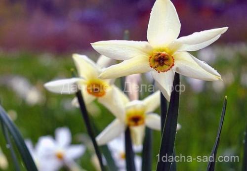 Можно ли весной сажать тюльпаны и нарциссы. Правила для луковичных. Как и когда высаживать тюльпаны и нарциссы 02