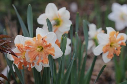 Можно ли весной сажать тюльпаны и нарциссы. Правила для луковичных. Как и когда высаживать тюльпаны и нарциссы
