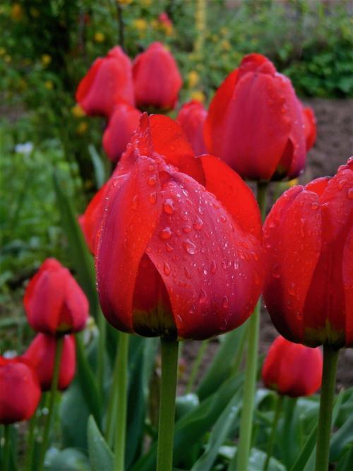 Когда сажать тюльпаны. Можно ли посадить тюльпаны весной? Когда они зацветут?
