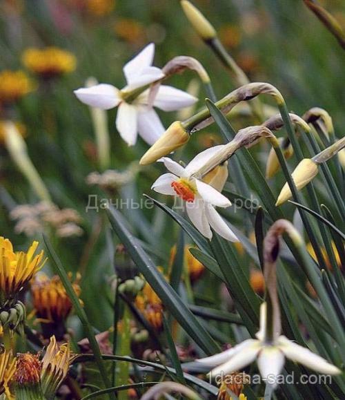 Можно ли весной сажать тюльпаны и нарциссы. Правила для луковичных. Как и когда высаживать тюльпаны и нарциссы 05