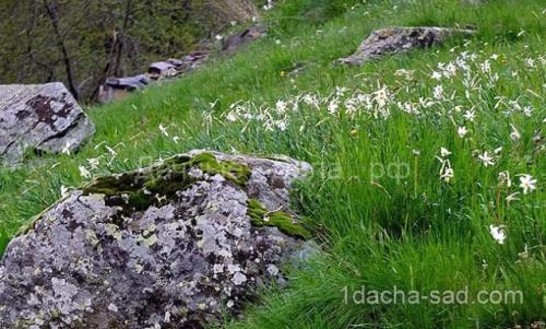 Можно ли весной сажать тюльпаны и нарциссы. Правила для луковичных. Как и когда высаживать тюльпаны и нарциссы 03