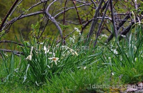 Можно ли весной сажать тюльпаны и нарциссы. Правила для луковичных. Как и когда высаживать тюльпаны и нарциссы 04