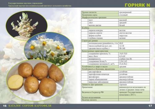Сорт картофеля горняк. История картофеля