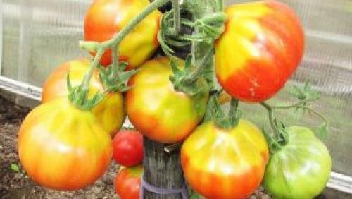 От чего помидоры жесткие. Почему помидоры внутри белые и жесткие