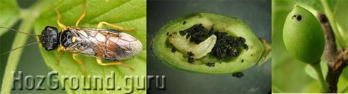 Плоды сливы желтеют и опадают. Опадают зеленые плоды сливы – ищите вредителей