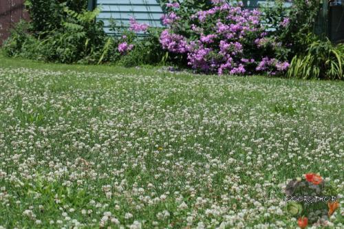 Как посадить клевер на участке. Как правильно посадить белый клевер для газона